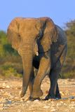 Portrait of an elephant. At a waterhole. The shot was taken in Etosha Park, Namibia Stock Photography