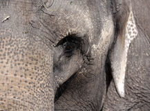 Portrait of elephant Stock Images