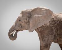 Portrait of elephant against gray background Stock Photo