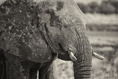 Portrait of an Elephant in black and white Royalty Free Stock Photo