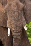 Portrait of elephant bull Stock Photo
