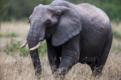 Portrait of an elephant bull walking towards the camera, Africa. Stock Images