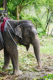 Portrait of elephant in harness for trekking Stock Photography
