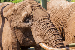 Portrait of an elephant Stock Image