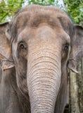 Portrait of elephant Stock Images