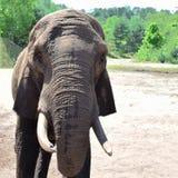 Portrait of elephant royalty free stock photography