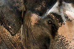 Portrait of elephant from Thailand Royalty Free Stock Photos