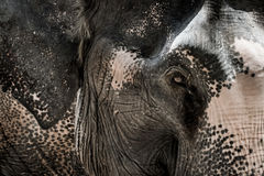 Portrait of elephant from Thailand Stock Photos