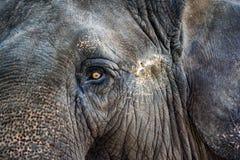 Portrait of Elephant Royalty Free Stock Photos