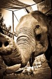 Portrait of an Elephant who Likes Bananas. Old elephant shot on the island of ko phangan, thailand Royalty Free Stock Photos