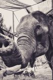 Portrait of an Elephant who Likes Bananas. In Thailand Royalty Free Stock Images