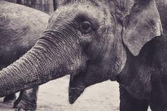 Portrait of an Elephant who Seems to Laugh. At the Zoo Royalty Free Stock Photos
