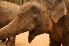 Portrait of an Elephant who Seems to Laugh. At the Zoo Royalty Free Stock Image