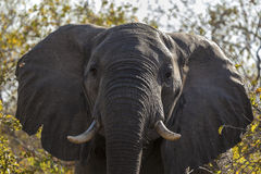 Portrait Of An Elephant Stock Photos