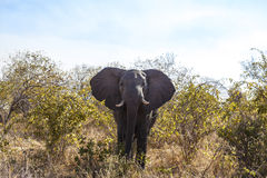 Portrait Of An Elephant Stock Photography