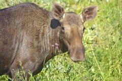 Portrait of elk Stock Images