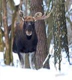 Portrait Elk Stock Photography