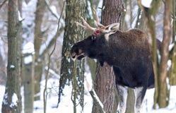 Portrait Elk Royalty Free Stock Photography