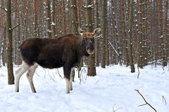 Portrait Elk Stock Photos