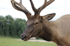 Portrait of an Elk. Closeup of an Elk in a field Stock Photos