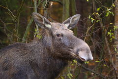 Portrait of elk female Royalty Free Stock Images
