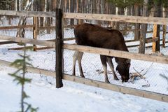 Portrait Elk in the winter. Portrait Elk in winter forest Stock Image