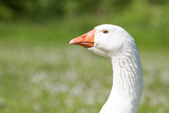 Portrait of an Emden goose Royalty Free Stock Image