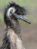 Portrait of an Emu Royalty Free Stock Photo