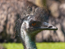 Portrait of an emu Stock Photography