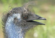 Portrait of a Emu. Emu Portrait captured in a hot summer day royalty free stock images