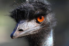 Portrait of an Emu in Australia. Zoo garden Royalty Free Stock Photos