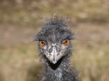 Portrait of emu bird Royalty Free Stock Images