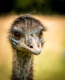 Emu portrait. Portrait of a Emu bird in profile Royalty Free Stock Images