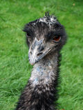 Portrait of Emu. Portrait of bird Emu in zoo close up Royalty Free Stock Photography