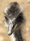 Portrait of emu - Dromaius Royalty Free Stock Images
