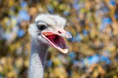 Portrait of Emu or Dromaius novaehollandiae head close royalty free stock photography