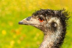 Portrait of an Emu Dromaius novaehollandiae head with orange eyes stock photo