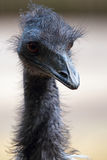 Portrait of a emu Royalty Free Stock Photos