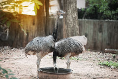 Portrait of Emu Dromaius novaehollandiae. Wildlife animal. Stock Photography