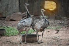 Portrait of Emu Dromaius novaehollandiae. Wildlife animal. Stock Photo