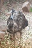 Portrait of Emu Dromaius novaehollandiae. Wildlife animal. Royalty Free Stock Images