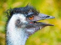Portrait of emu with open beak. The second largest bird of World endemic to Australia Royalty Free Stock Images