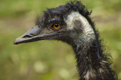 Portrait of Emu ostrich. Portrait of large black Emu ostrich, animal background Royalty Free Stock Photography