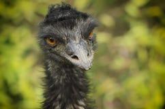 Portrait of Emu ostrich. Portrait of large black Emu ostrich, animal background Royalty Free Stock Photo