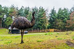 Portrait of a emu standing in a grass pasture, funny and big flightless bird from Australia. A portrait of a emu standing in a grass pasture, funny and big royalty free stock images
