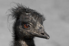 Portrait of an emu Stock Photos