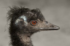 Portrait of an emu Royalty Free Stock Image