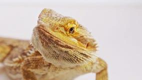 Portrait en gros plan barbu de dragon (lézard d'agame) clips vidéos