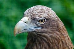 Portrait en gros plan d'aigle photographie stock libre de droits