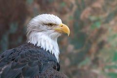 Portrait en gros plan d'aigle chauve sur le fond brouillé de camouflage photographie stock
